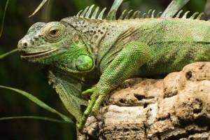 Legwan zielony Źródło: Wikimedia
